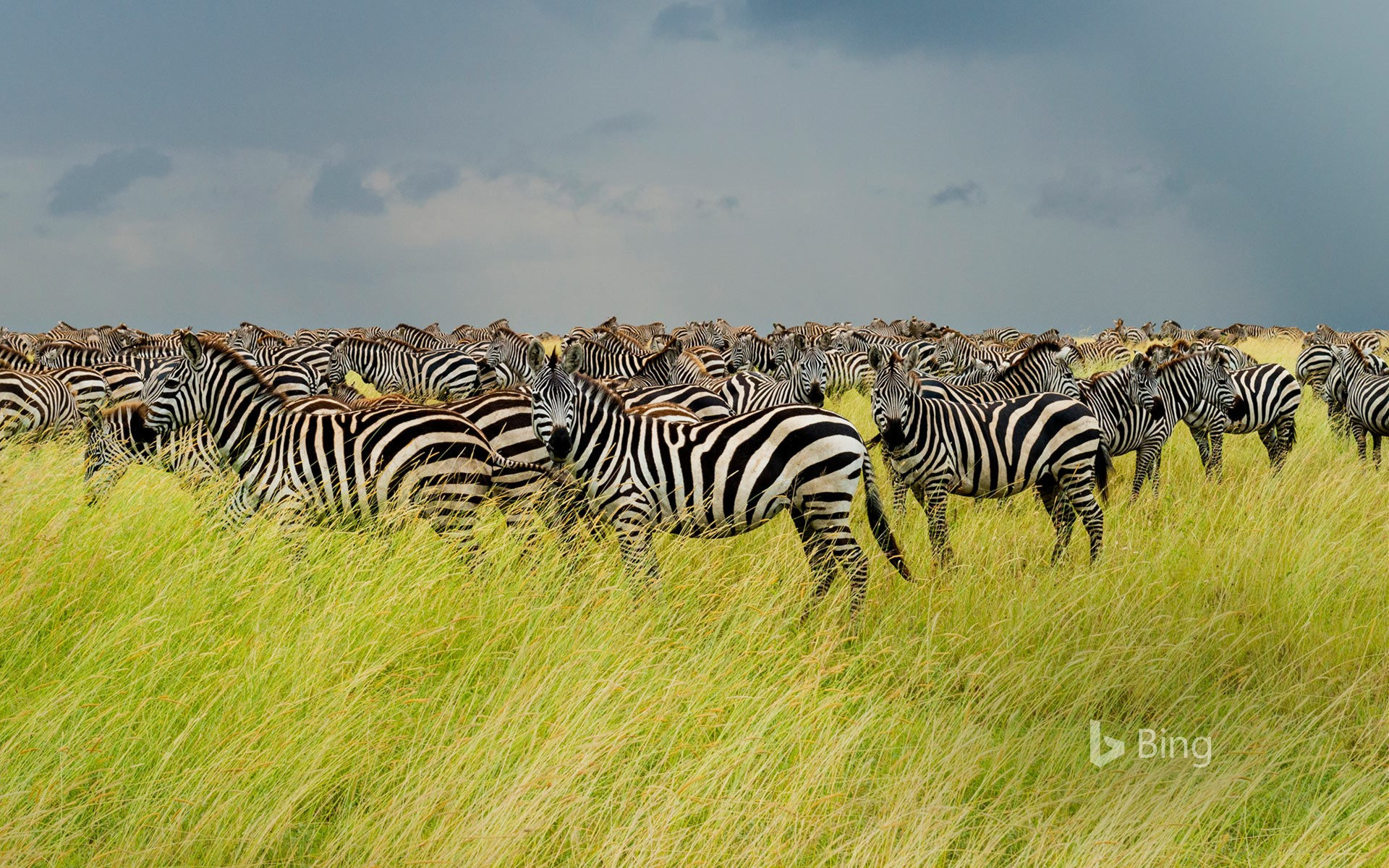 Zebras in Serengeti National Park, Tanzania