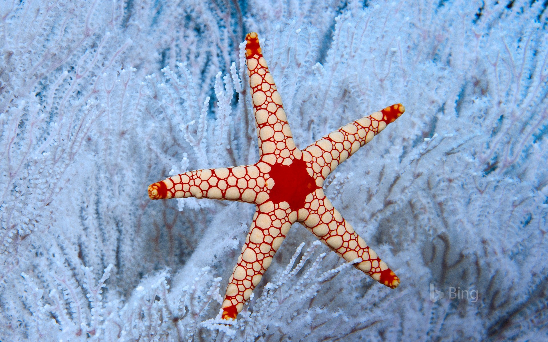 A peppermint sea star in a soft coral tree near the Seychelles