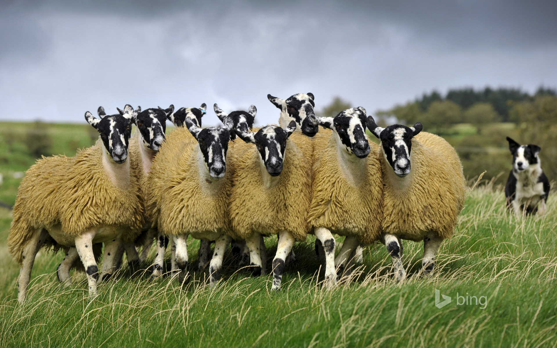 Sheep with a border collie in England