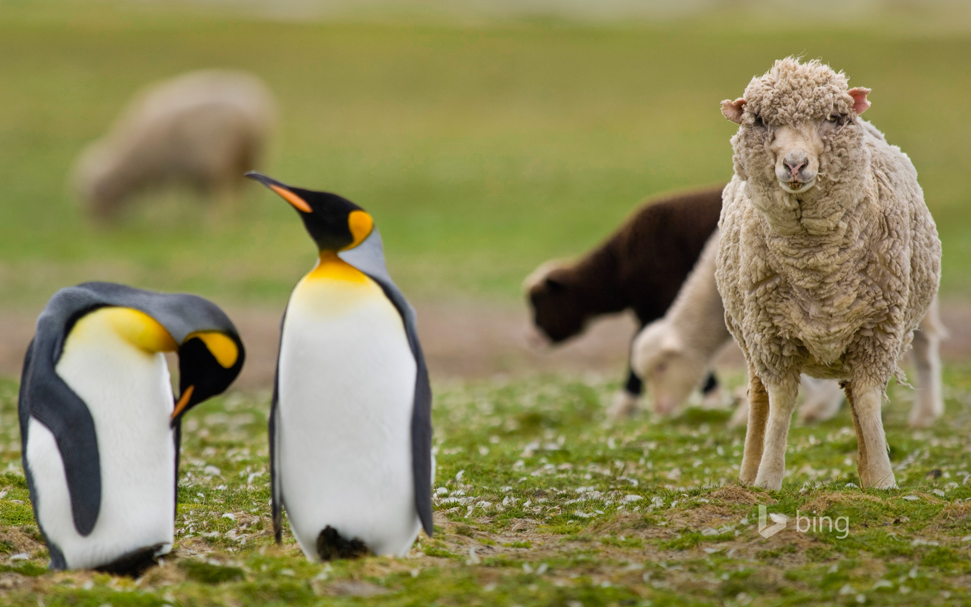 Sheep amid a king penguin colony in the Falkland Islands