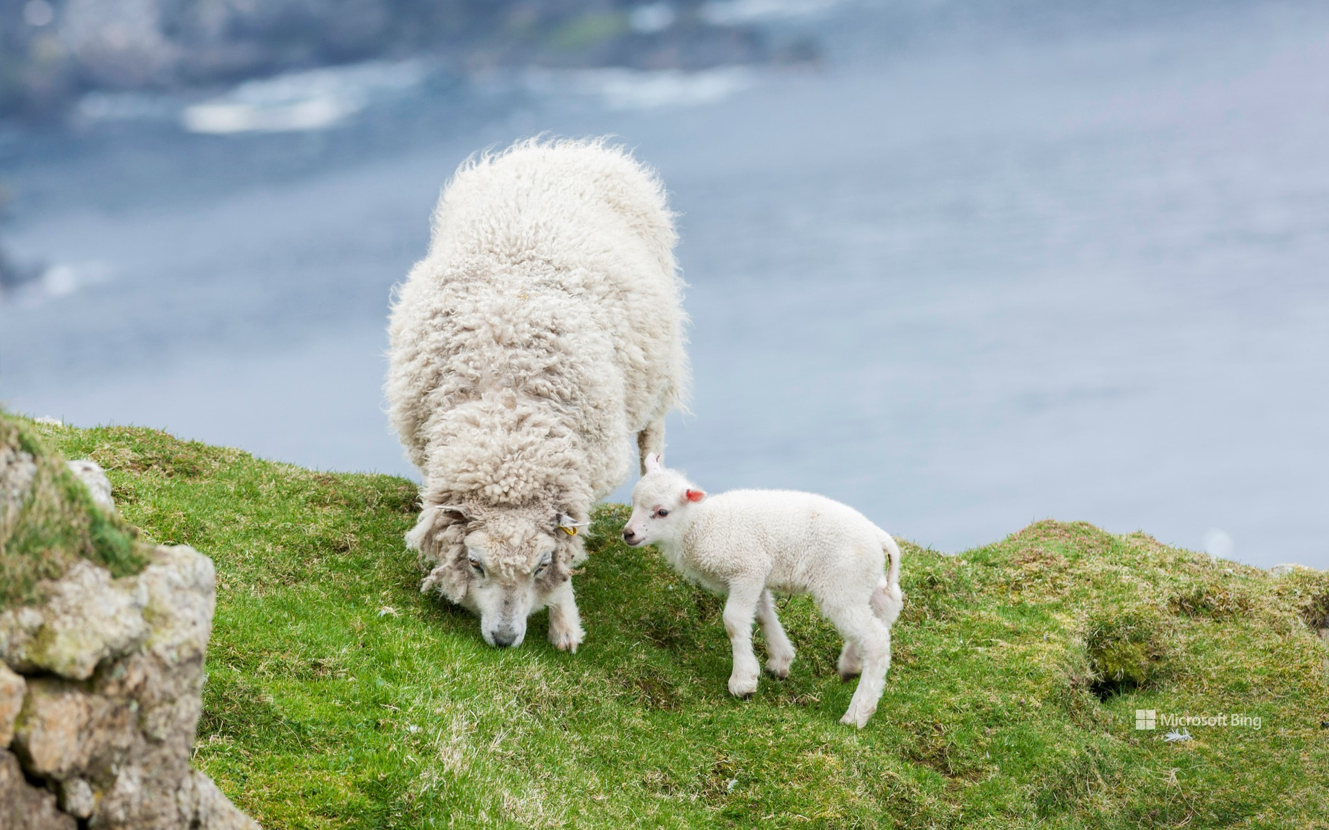 Shetland Sheep, a traditional, hardy breed of the Northern Isles in Scotland