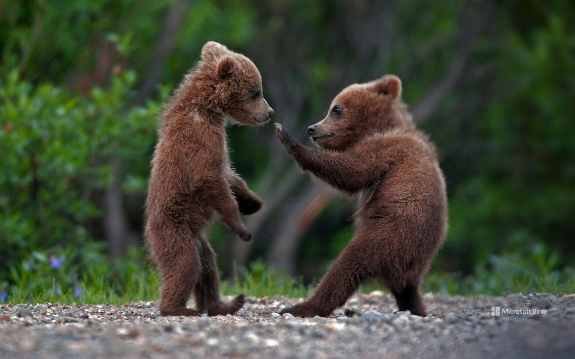 Grizzly bear cubs in Denali National Park, Alaska, USA