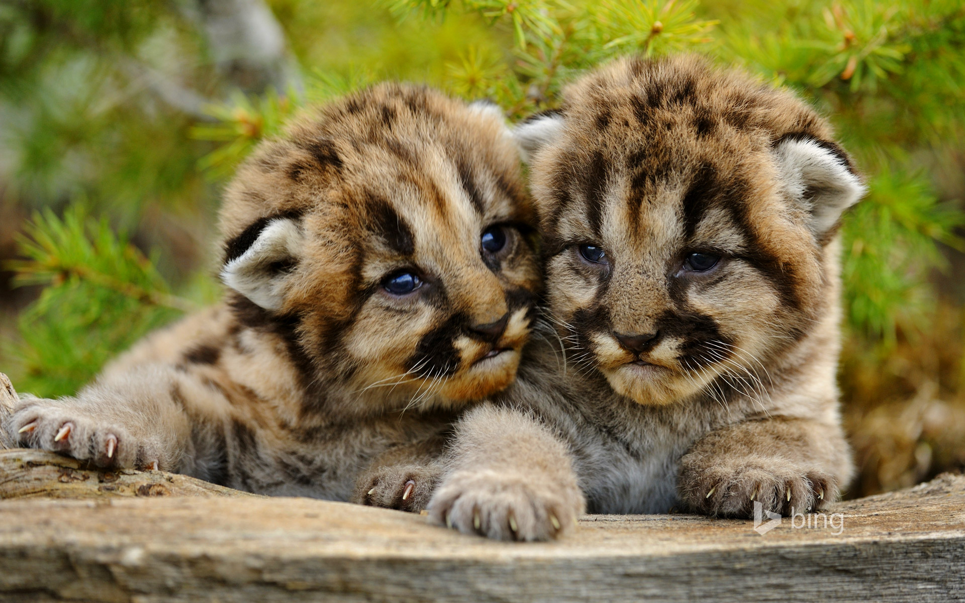 Mountain lion cubs near Bozeman, Montana