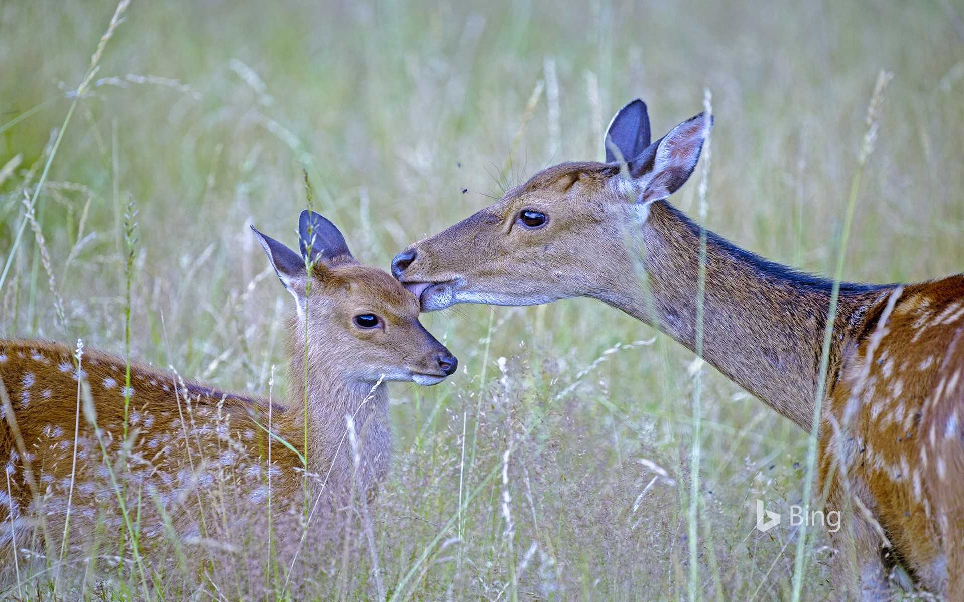 Sika deer with fawn, Haute Saone, France