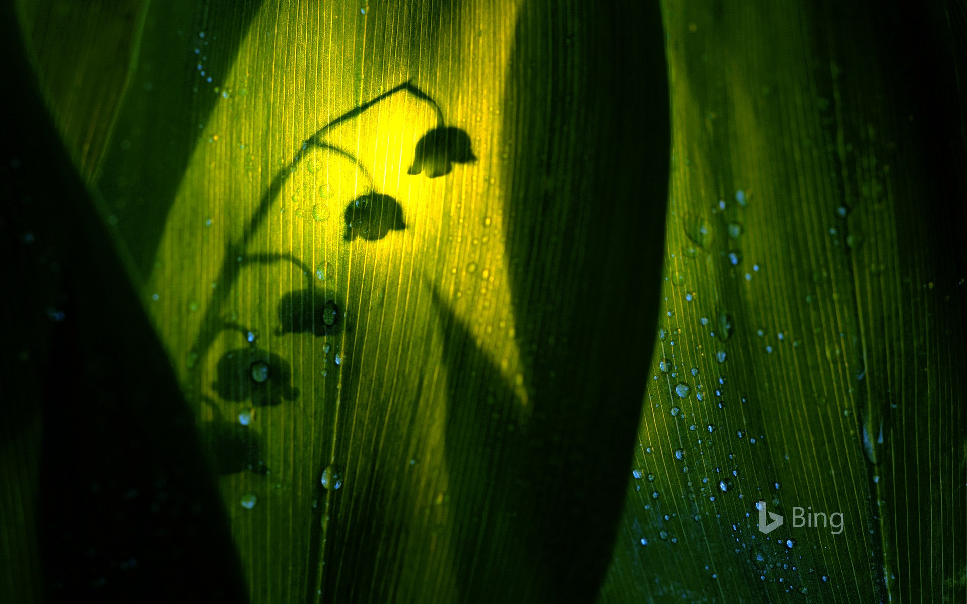 Silhouette of lily of the valley bloom