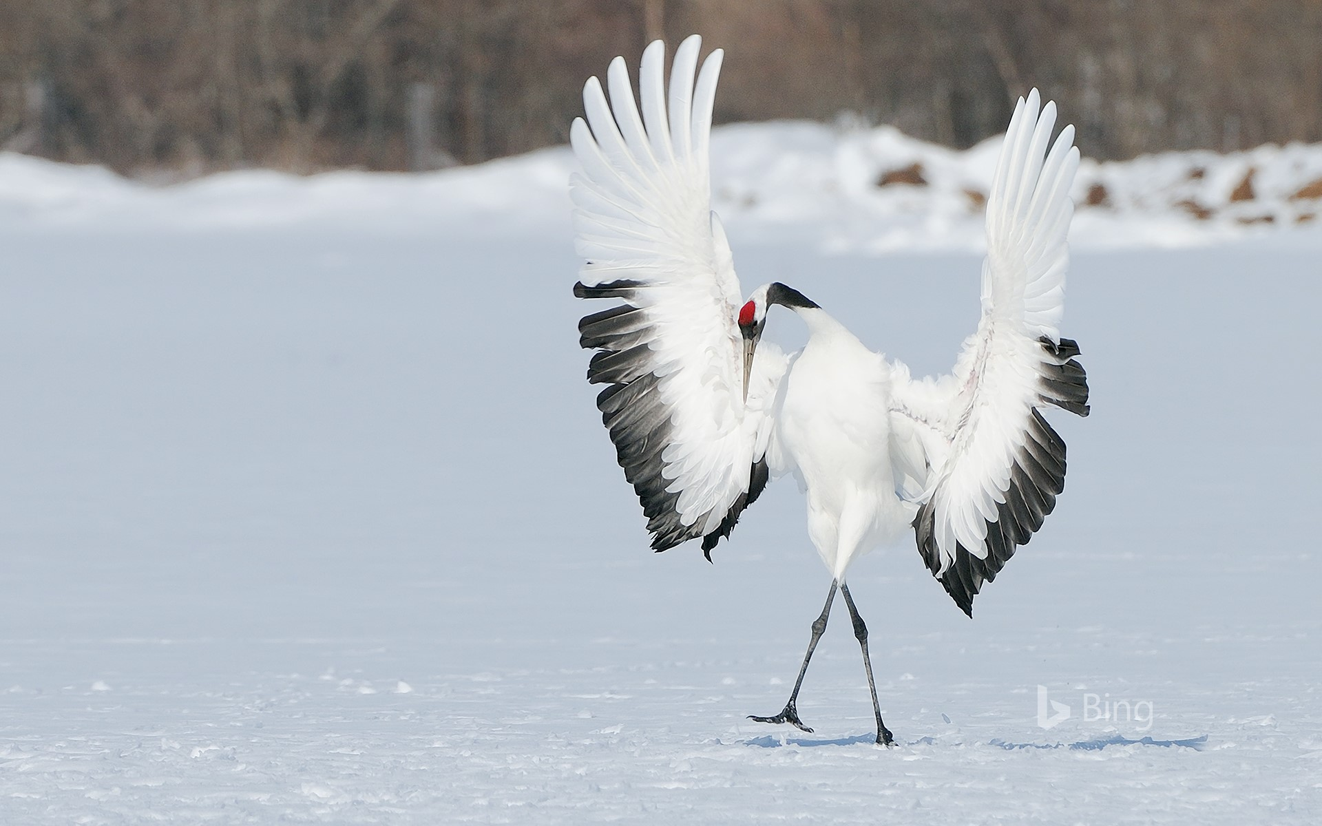 """One"" Red-crowned Crane"
