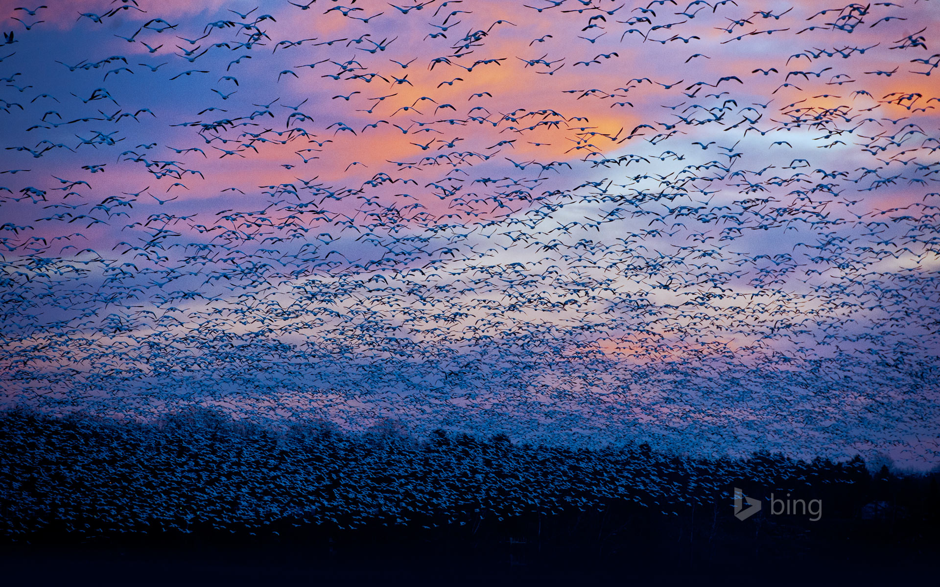 Snow goose migration at the Saint-François River, Quebec, Canada