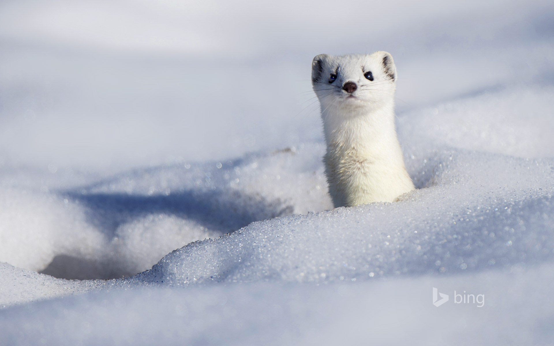 A stoat displaying its winter coat