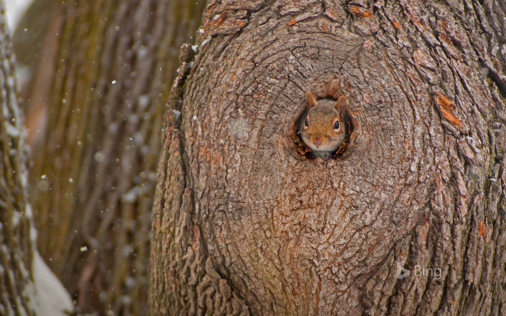Eastern gray squirrel peeking out of its den