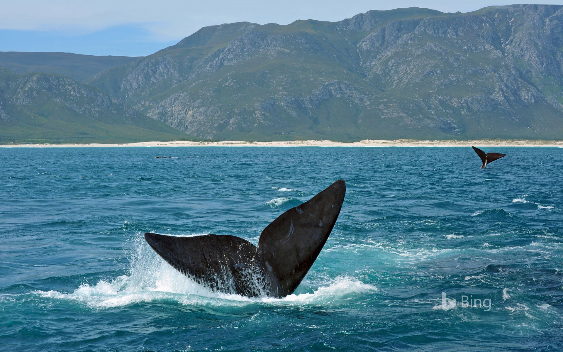 Southern right whales off the coast of South Africa