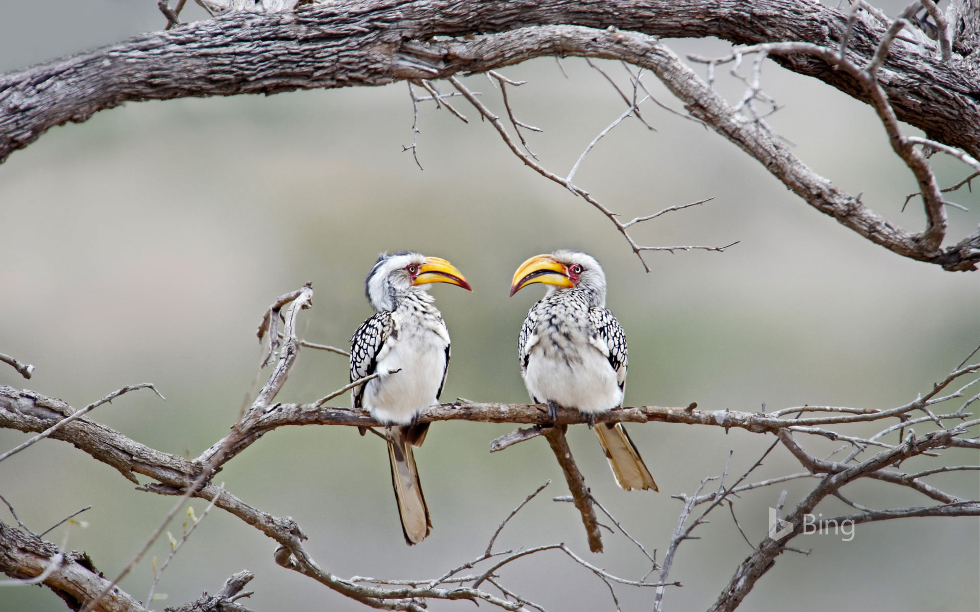 Southern yellow-billed hornbills in Kruger National Park, South Africa