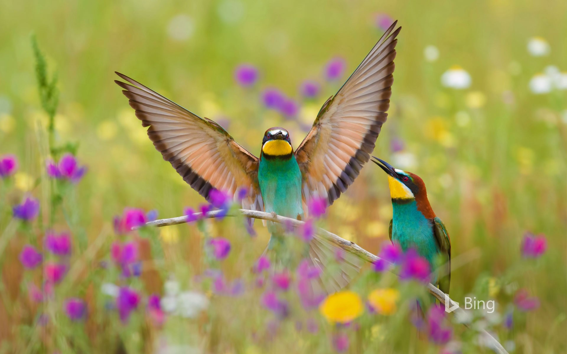 European bee-eaters in the Extremadura region in Spain