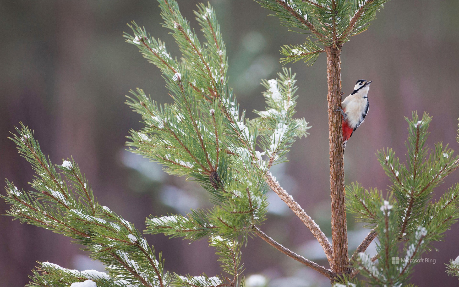 Great spotted woodpecker on Scots pine tree, Glenfeshie, Cairngorms National Park.