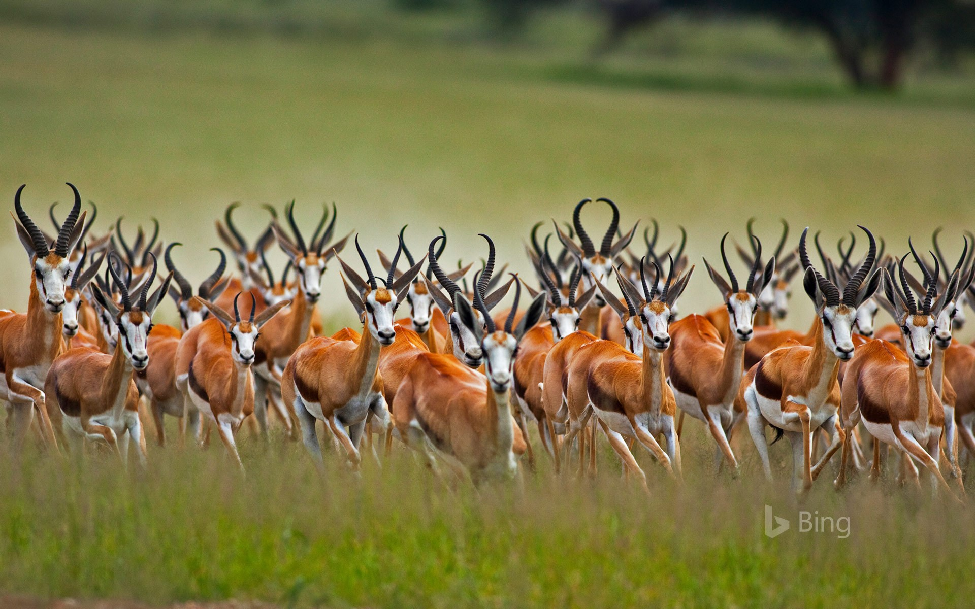 A herd of male springboks in the Kalahari region of South Africa