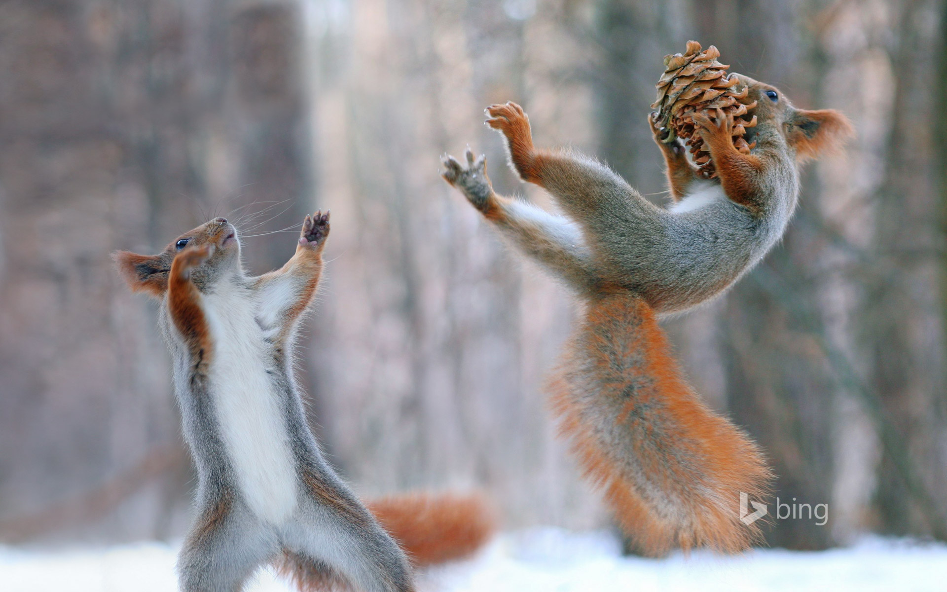 Eurasian red squirrels in action