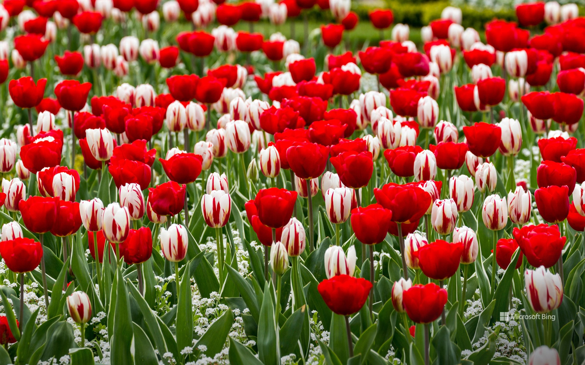 Red and white tulips for St George's Day