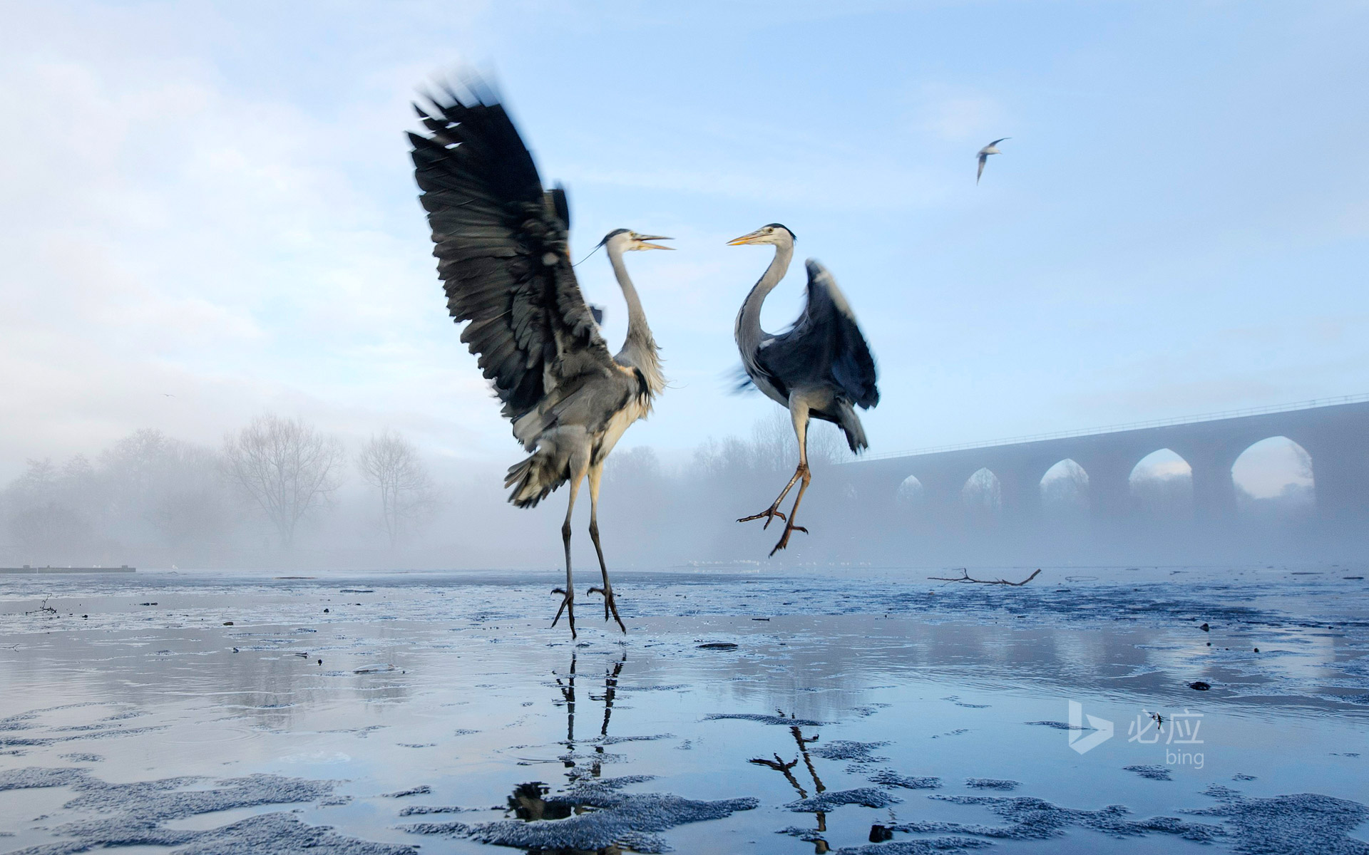 Two herons fighting over fish on the Tam River in Stockport, Greater Manchester