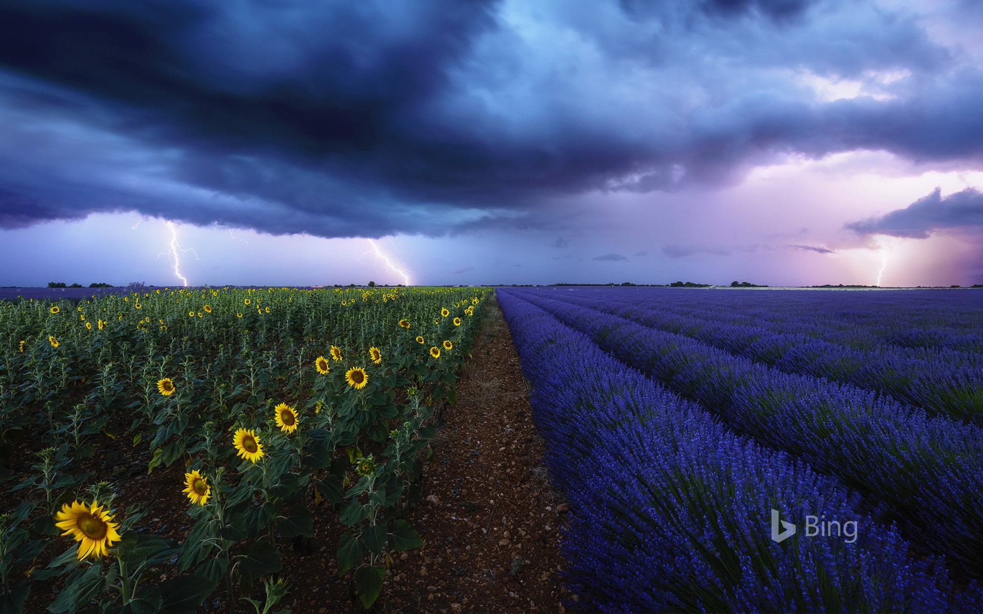 Lavender and sunflower fields under a stormy sky in Provence, France