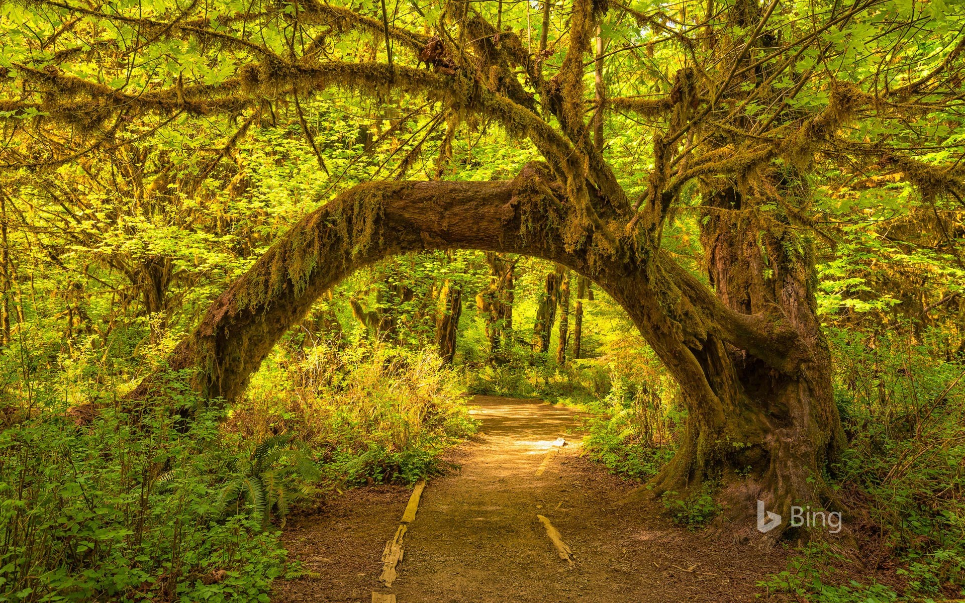 The Hoh Rainforest in Olympic National Park, Washington state