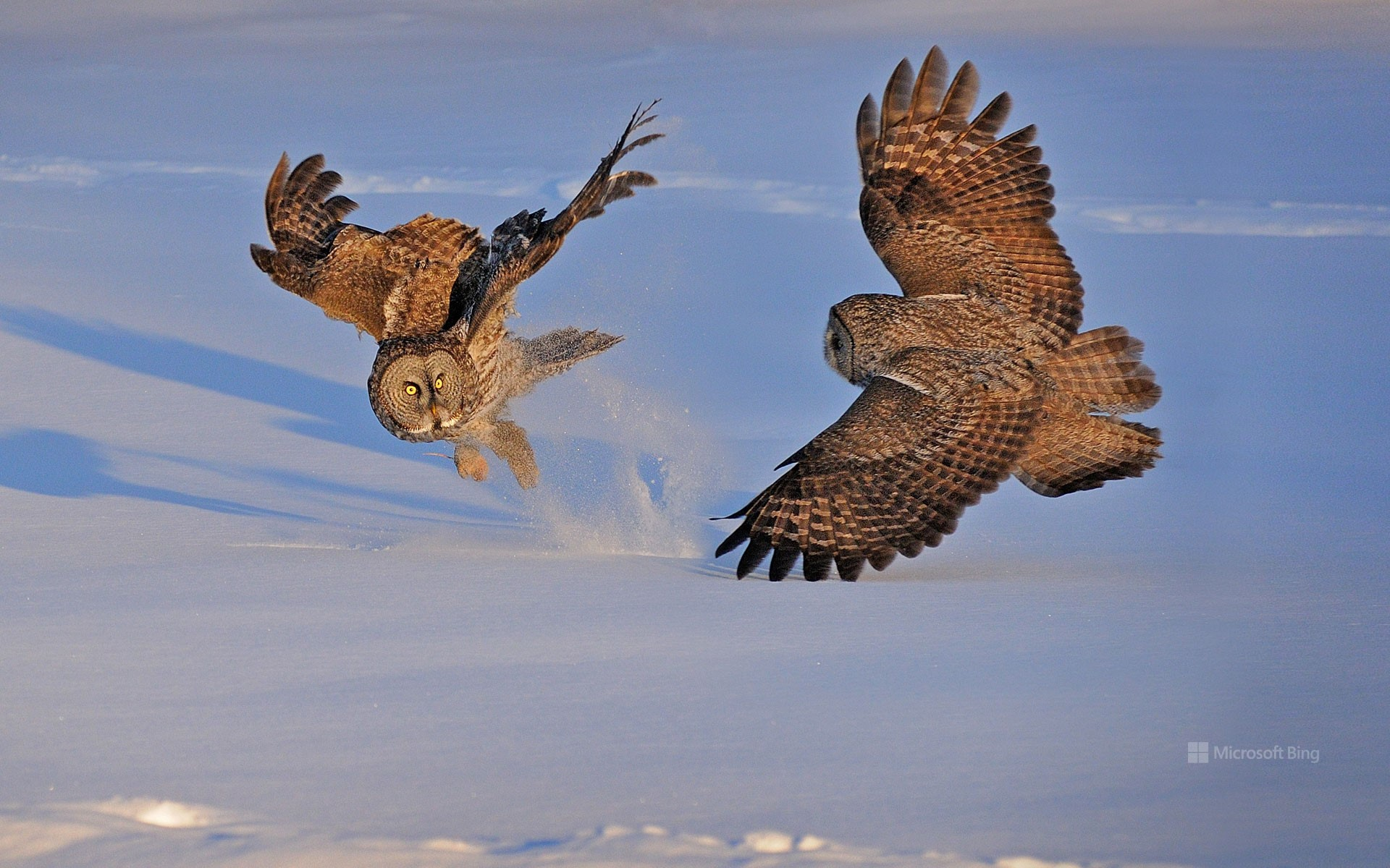 Great grey owls in Montreal, Canada