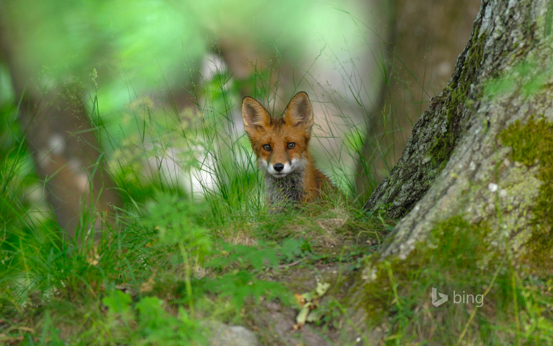A red fox in the forest of Elfvik near Lidingö, Sweden