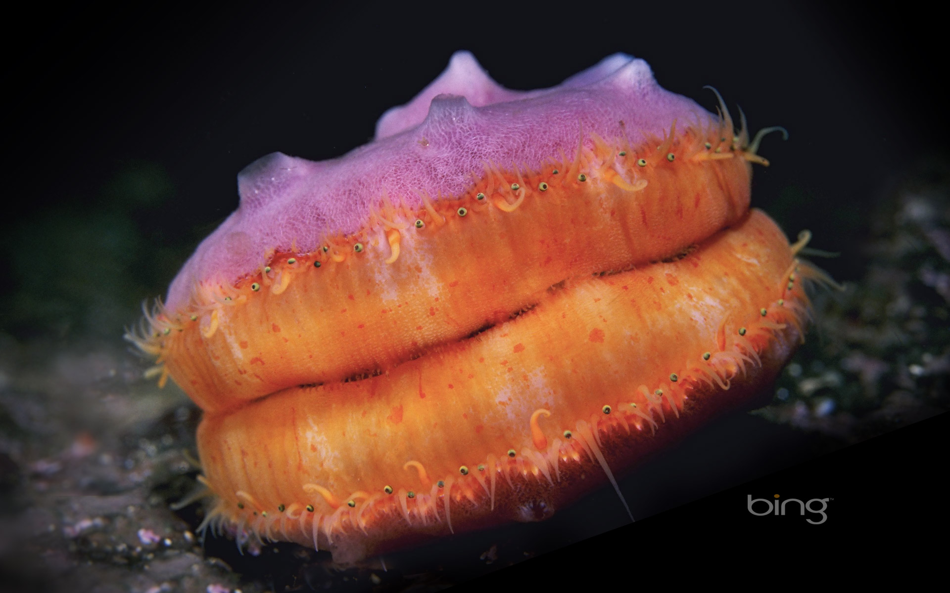 A Pacific pink scallop in the Pacific Ocean, British Columbia, Canada