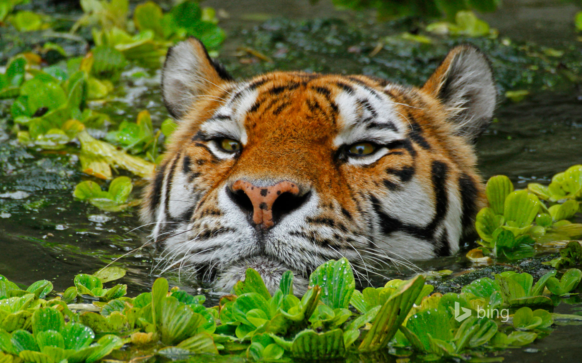 A Siberian tiger takes a swim at the Antwerp Zoo in Belgium