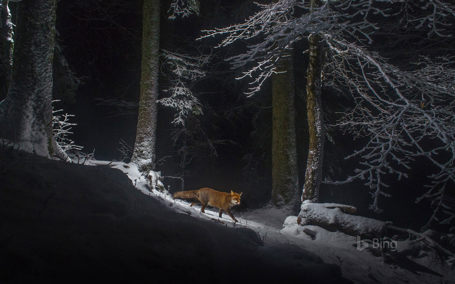 A red fox on the Swiss side of the Jura Mountain range