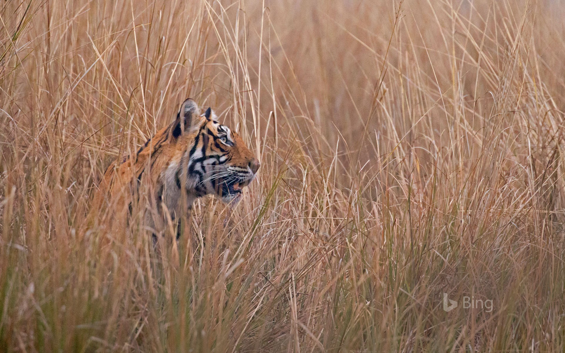 A Bengal tiger called 'Krishna' or 'T19' in Ranthambore National Park, India