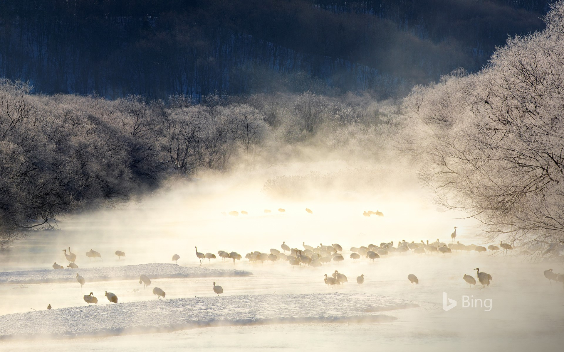 Red-crowned cranes in a mist-covered river, Hokkaido, Japan