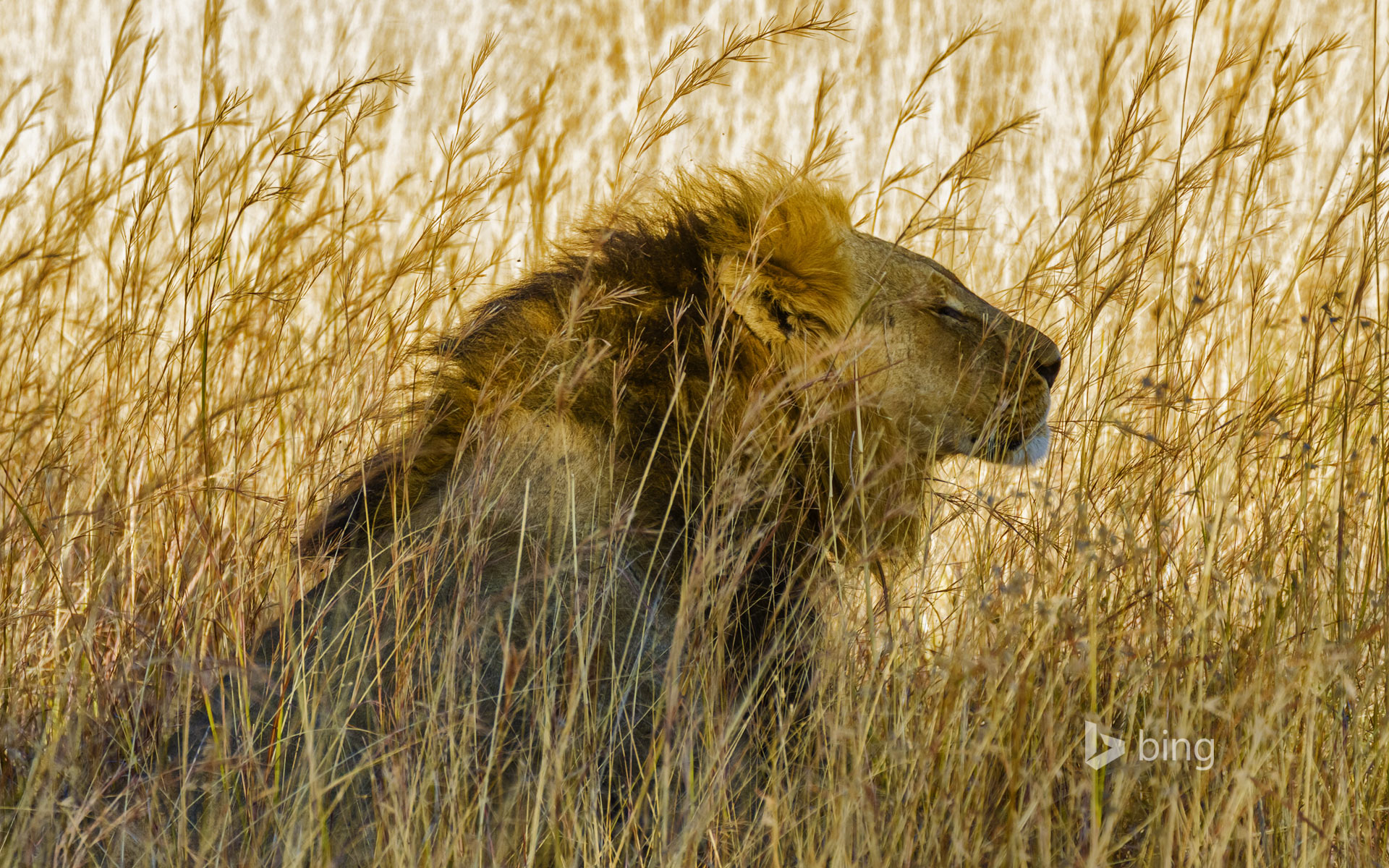 A lion in Hwange National Park, Zimbabwe