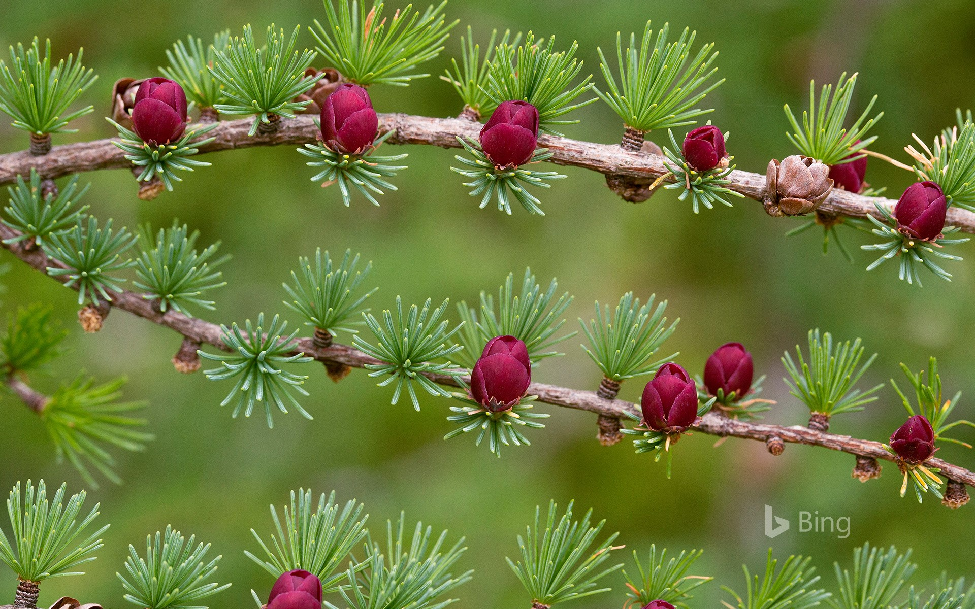 Tamarack branches with cones in Newfoundland and Labrador, Canada