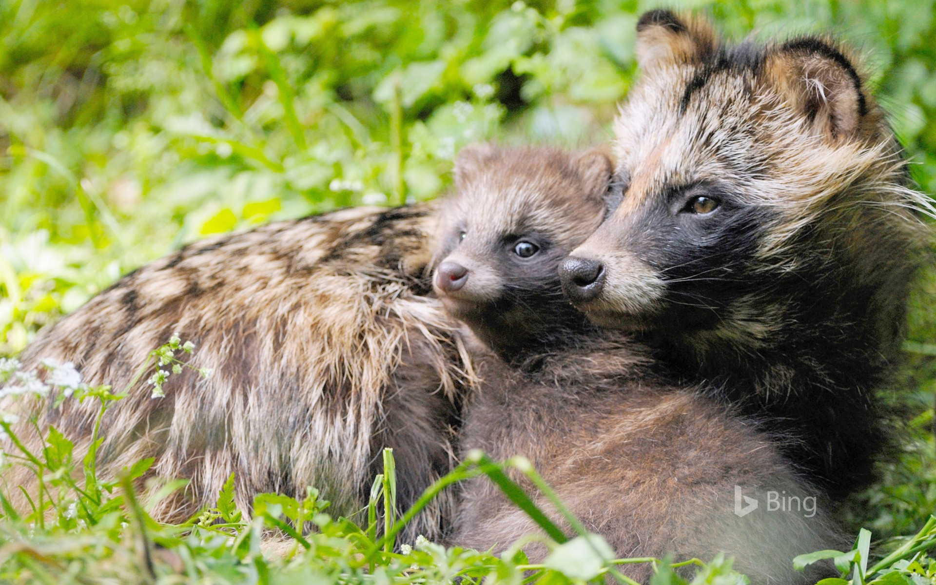 """""""Raccoon and child"""" Germany"""