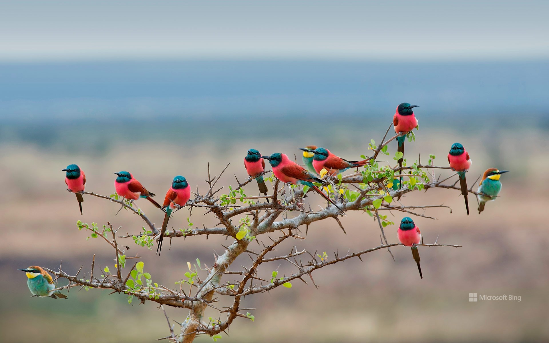 Northern carmine and European bee-eaters in Mkomazi National Park, Tanzania