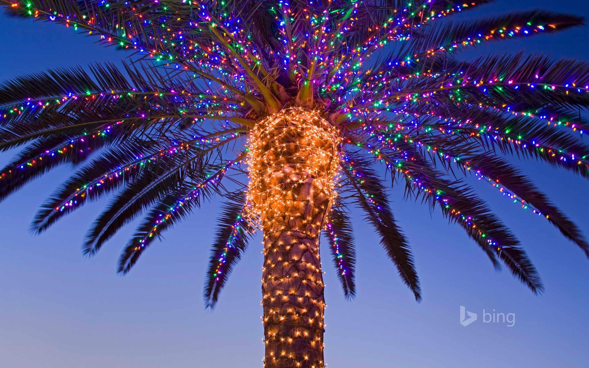 Christmas lights in a palm tree at a winery, Temecula Valley ...