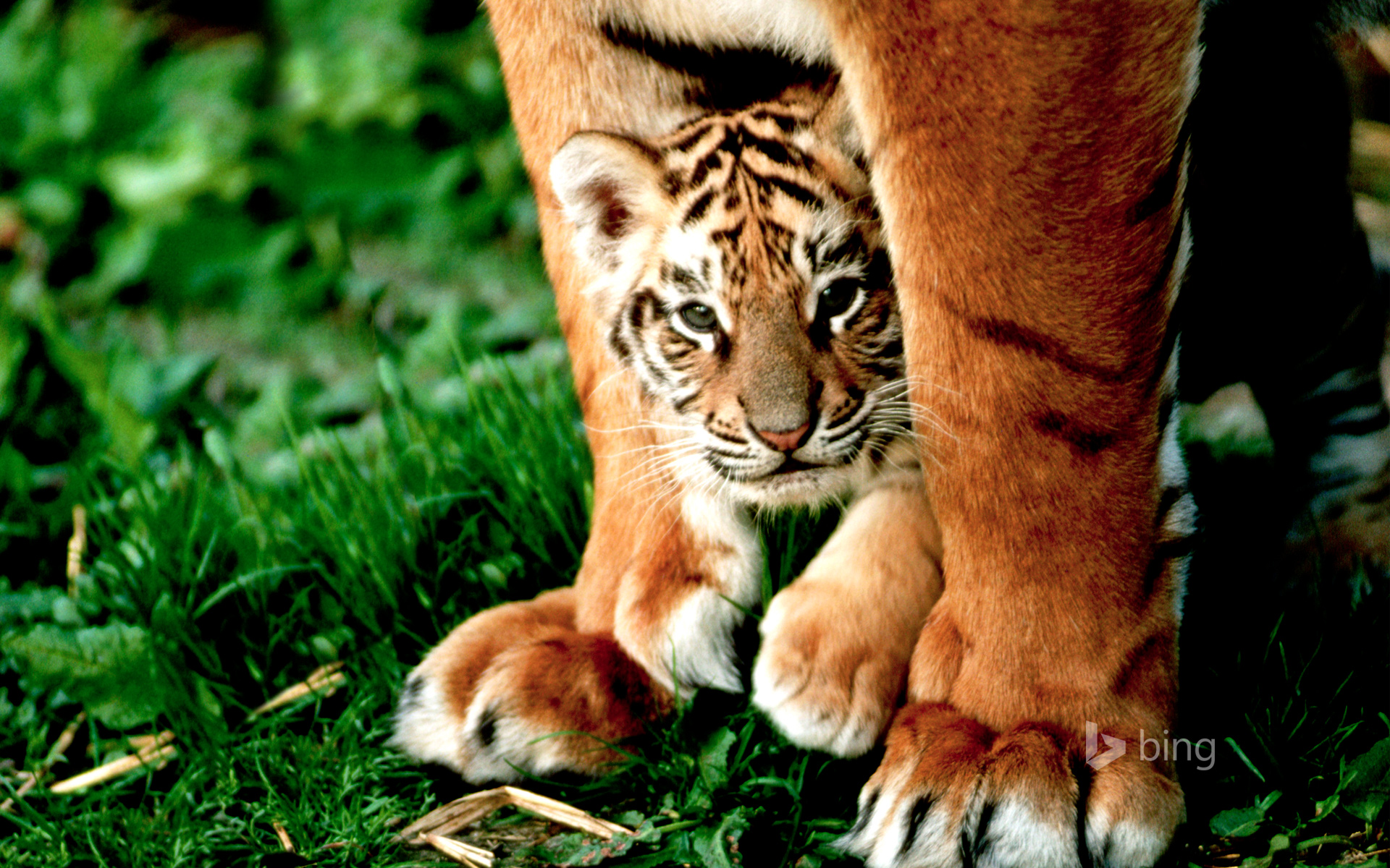 A six-week-old Bengal tiger cub peers out from between its mother's front legs