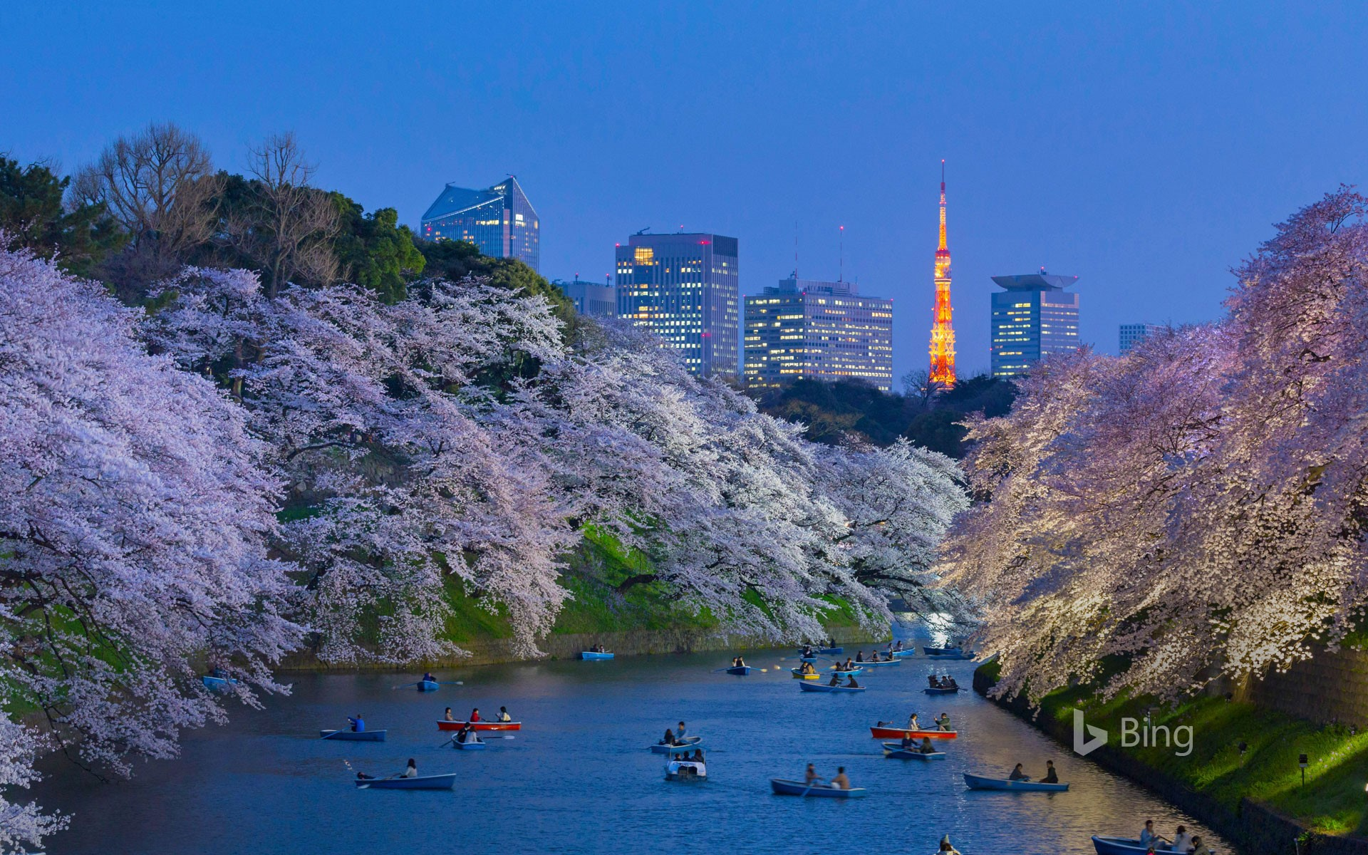 Cherry blossoms near the Imperial Palace against the background of Tokyo Tower, Tokyo, Japan