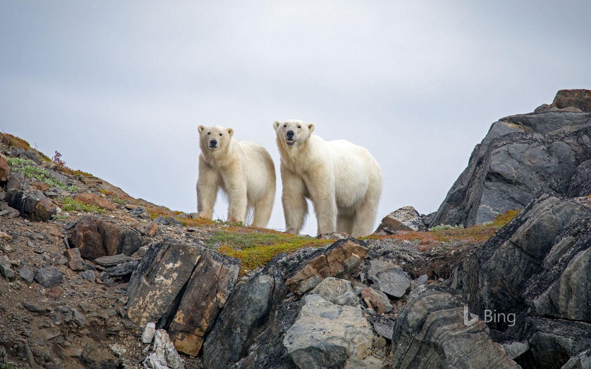 Polar bears in Torngat Mountains National Park, Canada