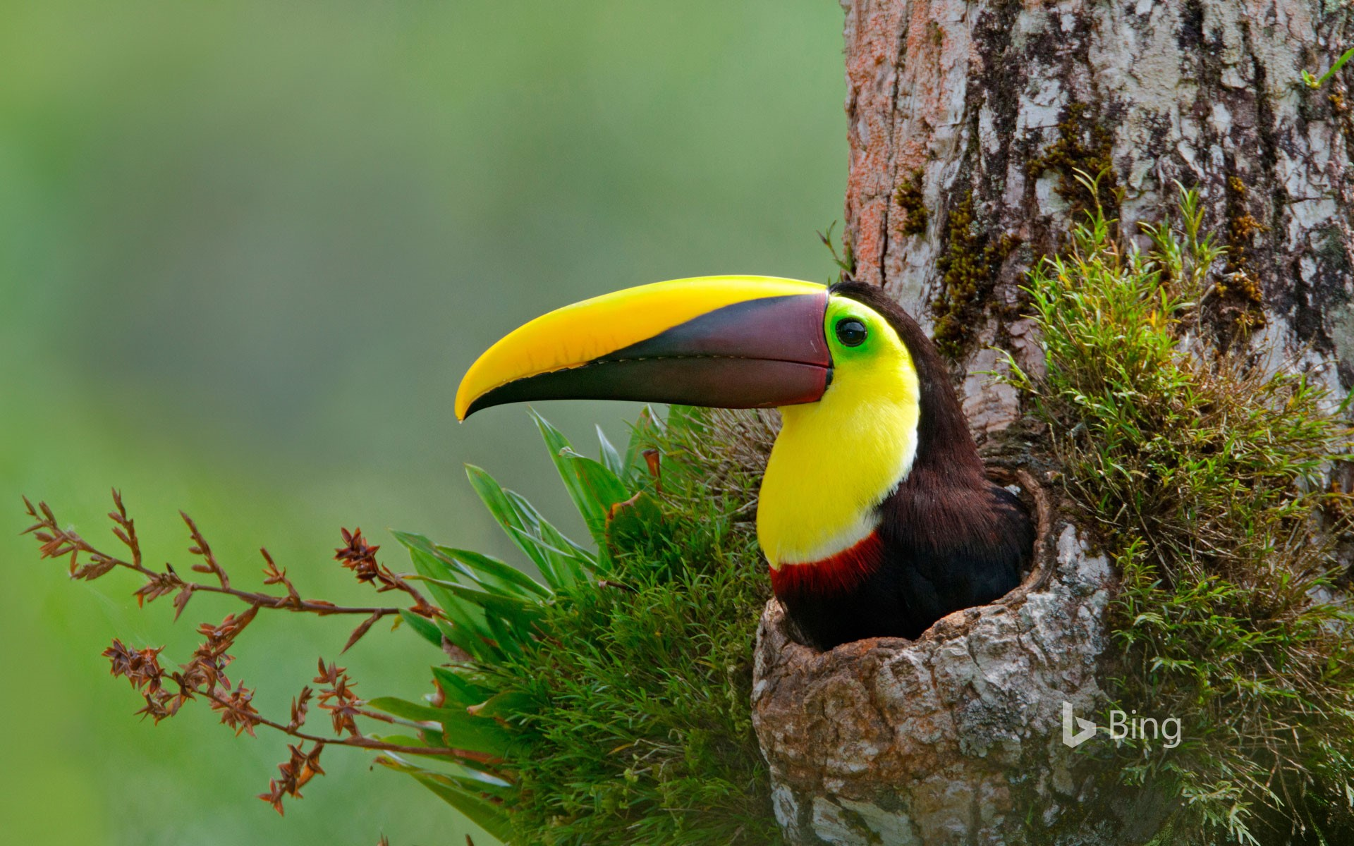 Chestnut-mandibled toucan nesting in the cavity of a tree, Costa Rica