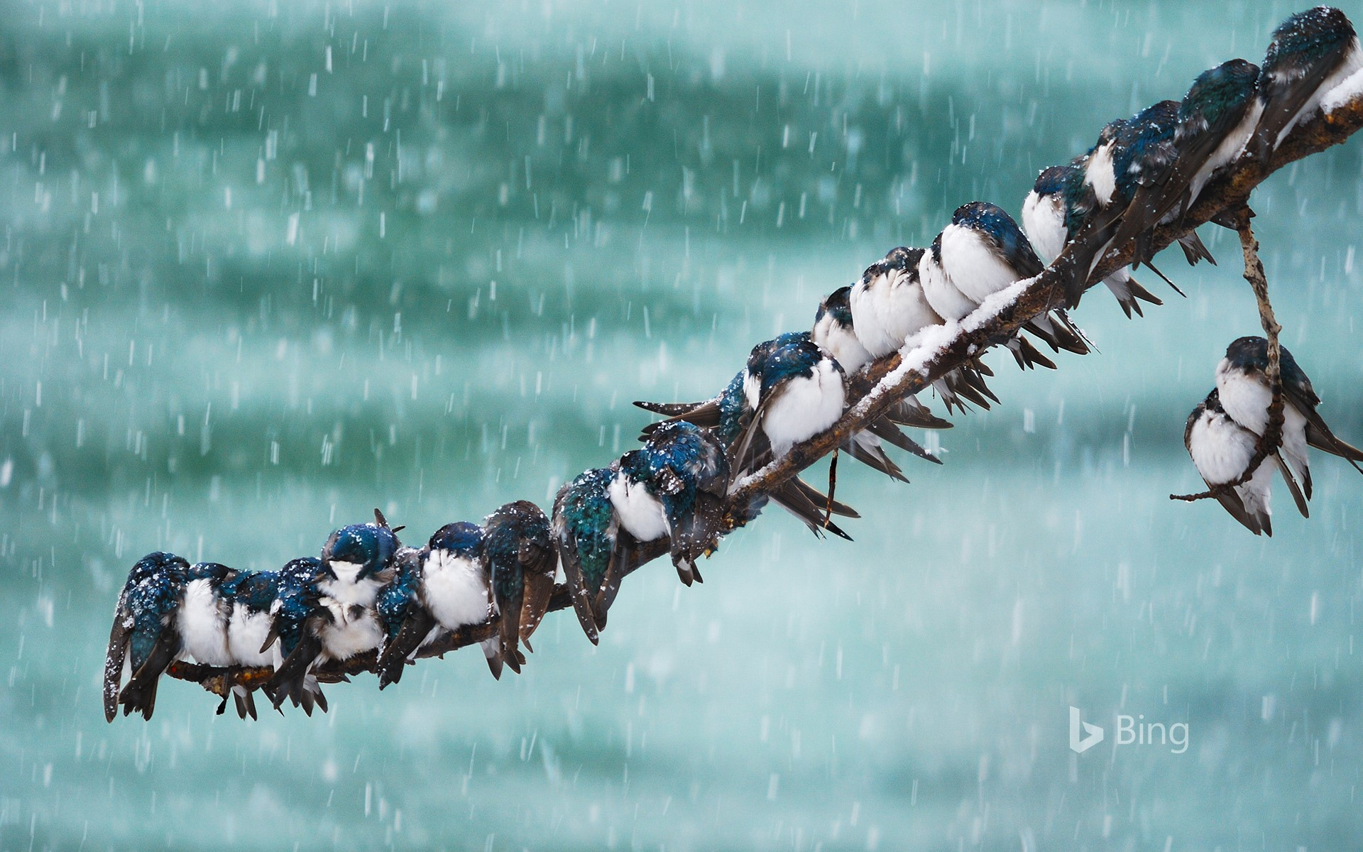 Tree swallows in a spring snowstorm in Whitehorse, Yukon, Canada