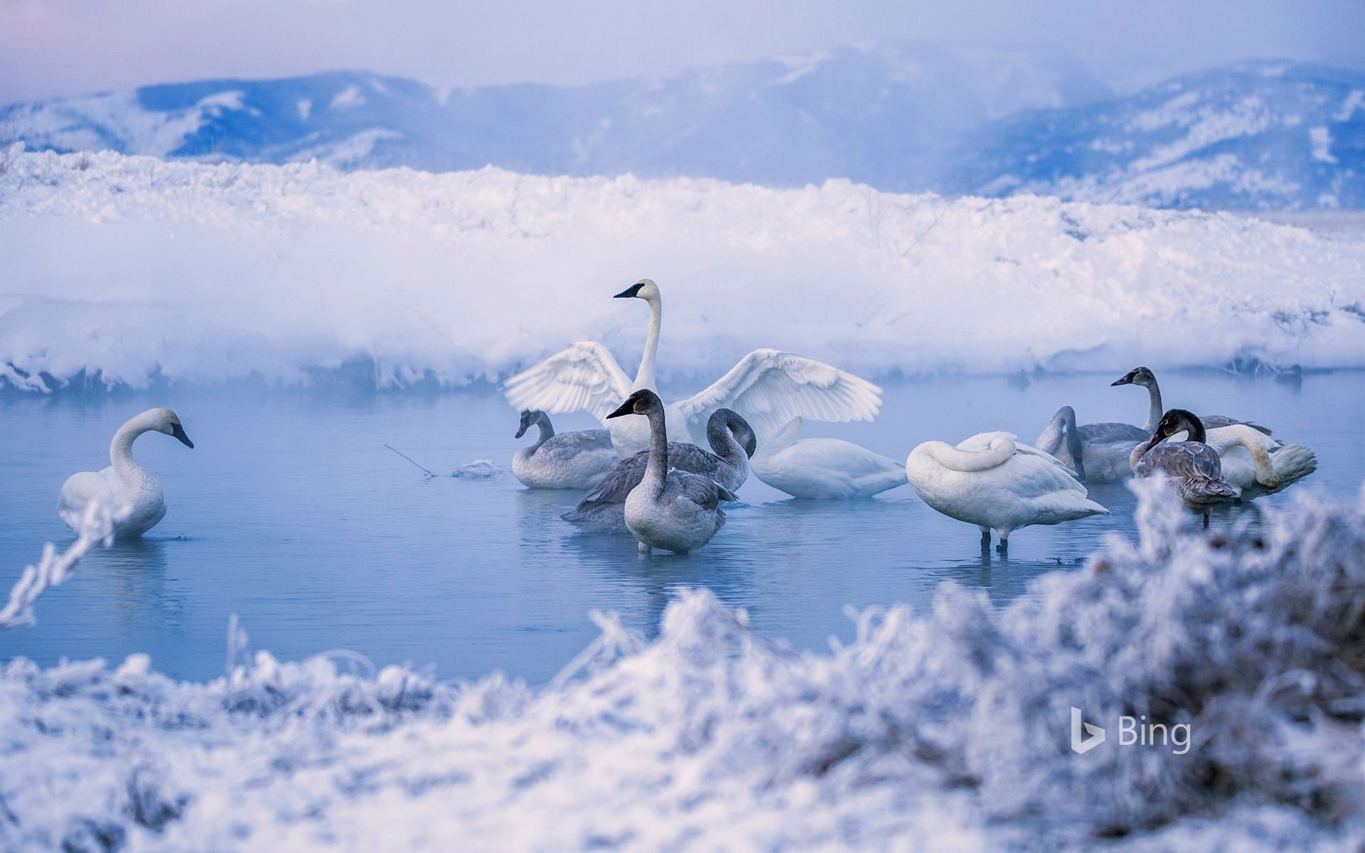 Trumpeter swans at Kelly Warm Springs, near Kelly, Wyoming