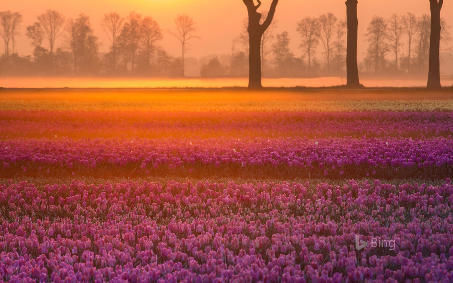 Tulips near the village of Grolloo in Drenthe province, Netherlands