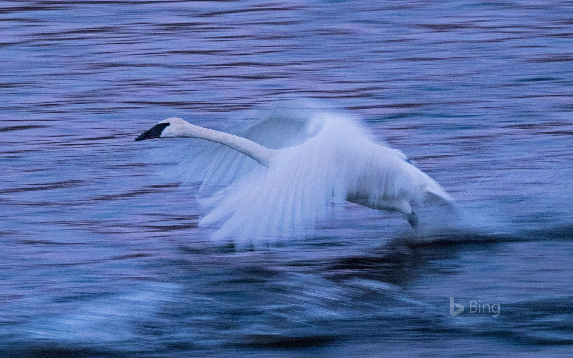 A tundra swan on the Mississippi River in Monticello, Minnesota, USA