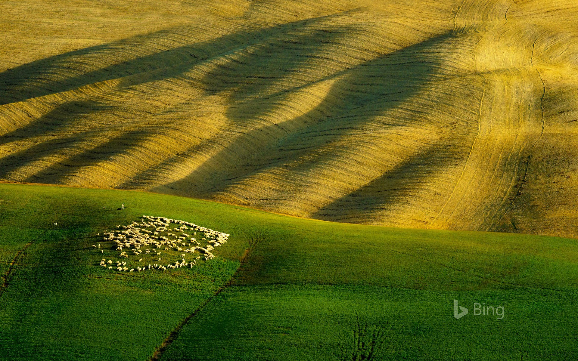 A flock of sheep grazing in Tuscany, Italy