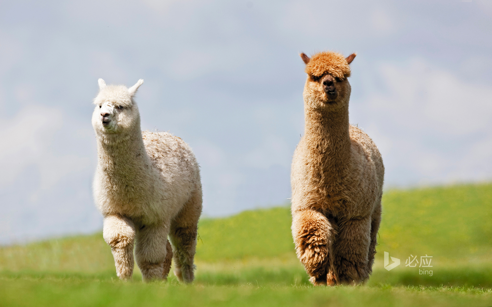 Two llamas on the grass