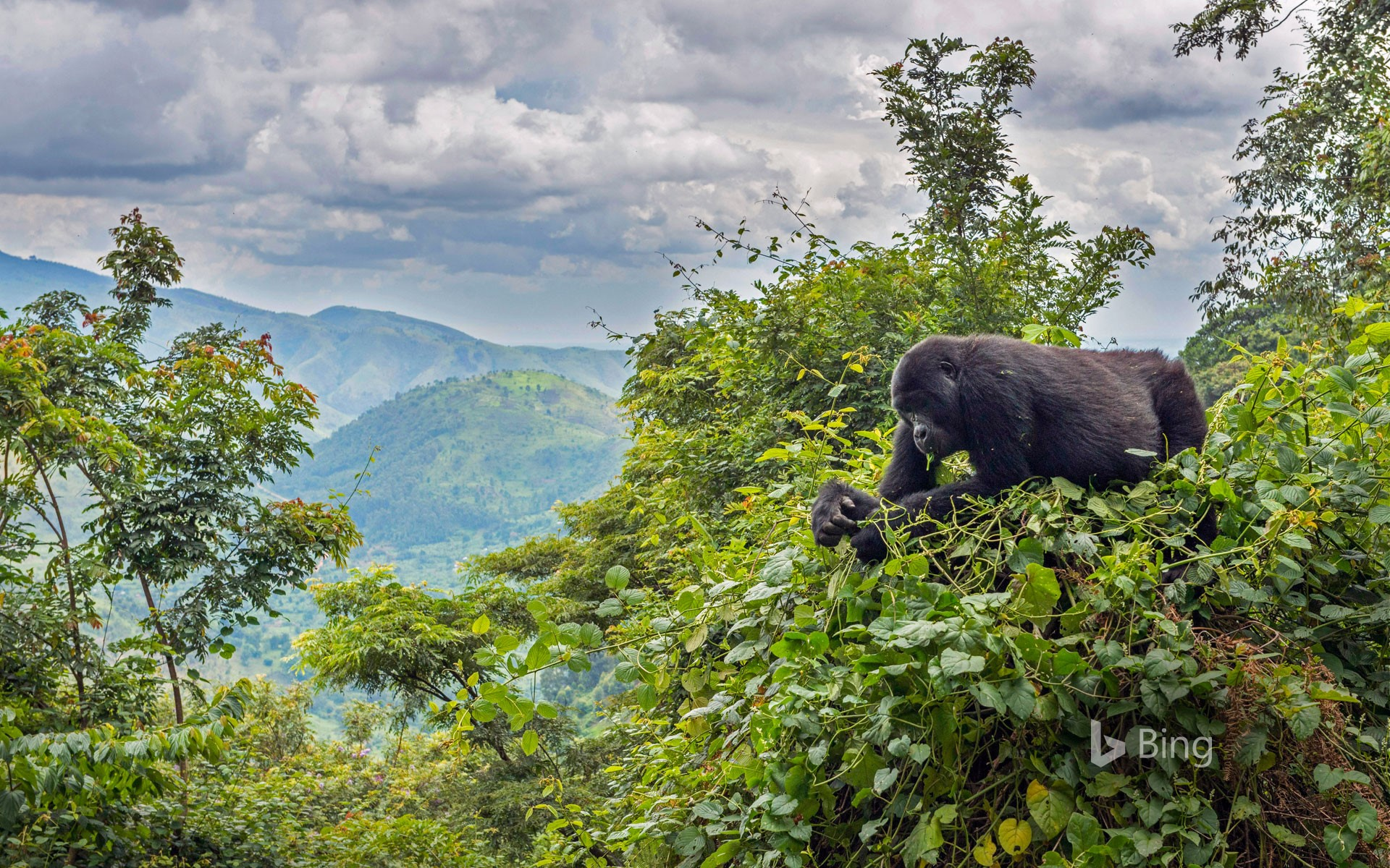 A mountain gorilla eating in a tree, Bwindi Impenetrable National Park, Uganda