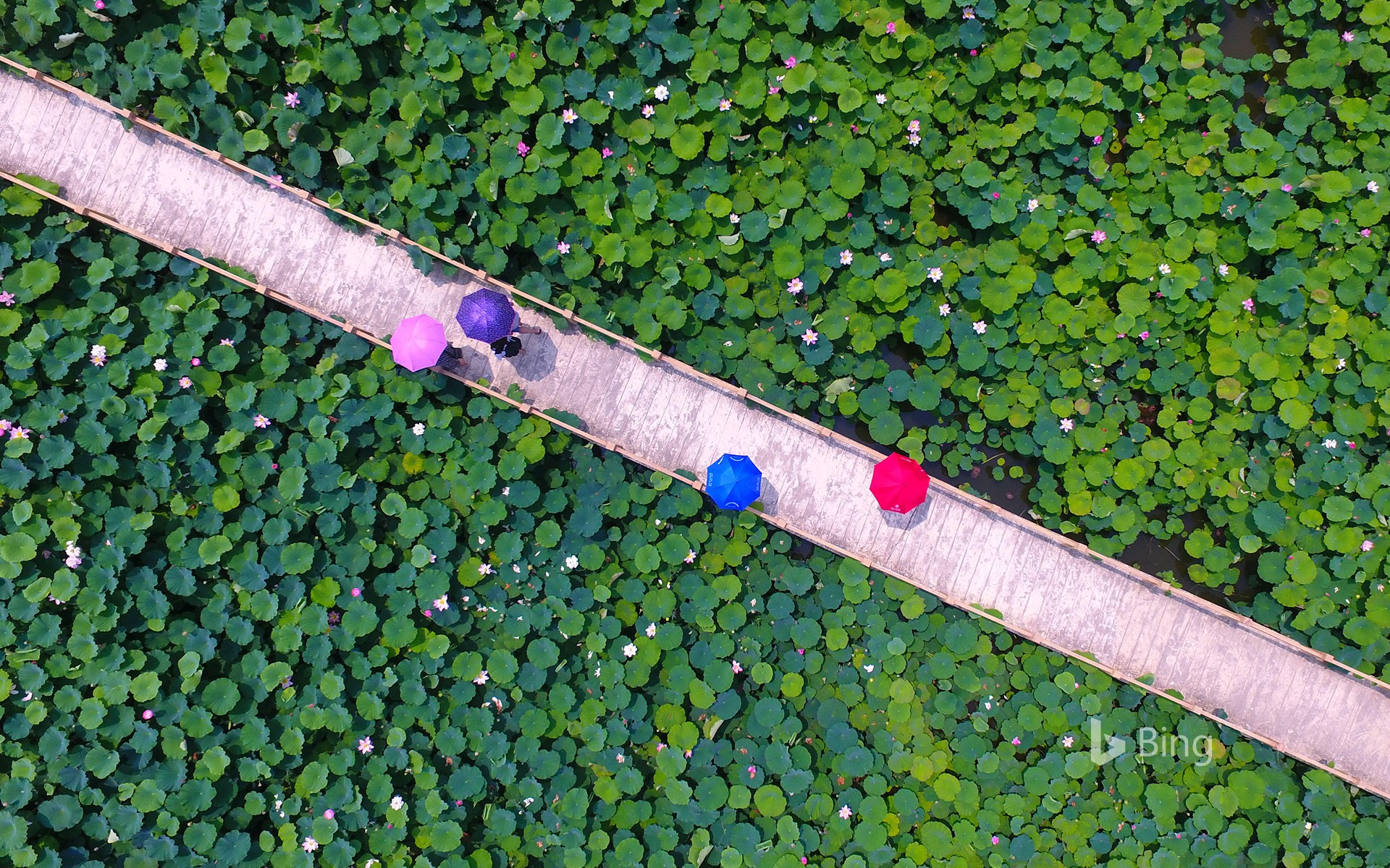 [Small Summer Today] Tourists watch lotus flowers at Yunhe Wetland Park in Taierzhuang District, Zaozhuang, Shandong, China