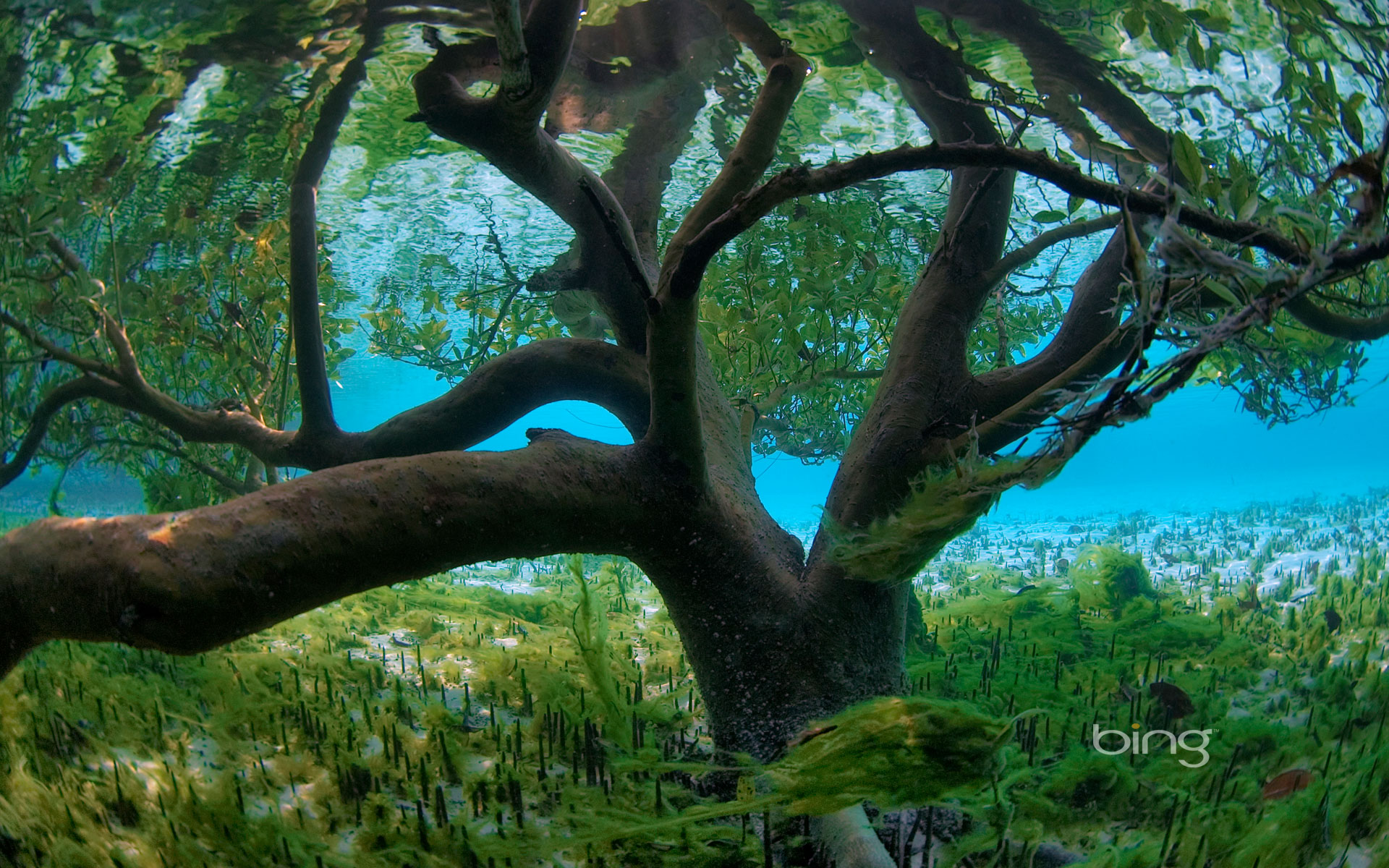 Mangrove seen from underwater, Aldabra, Seychelles
