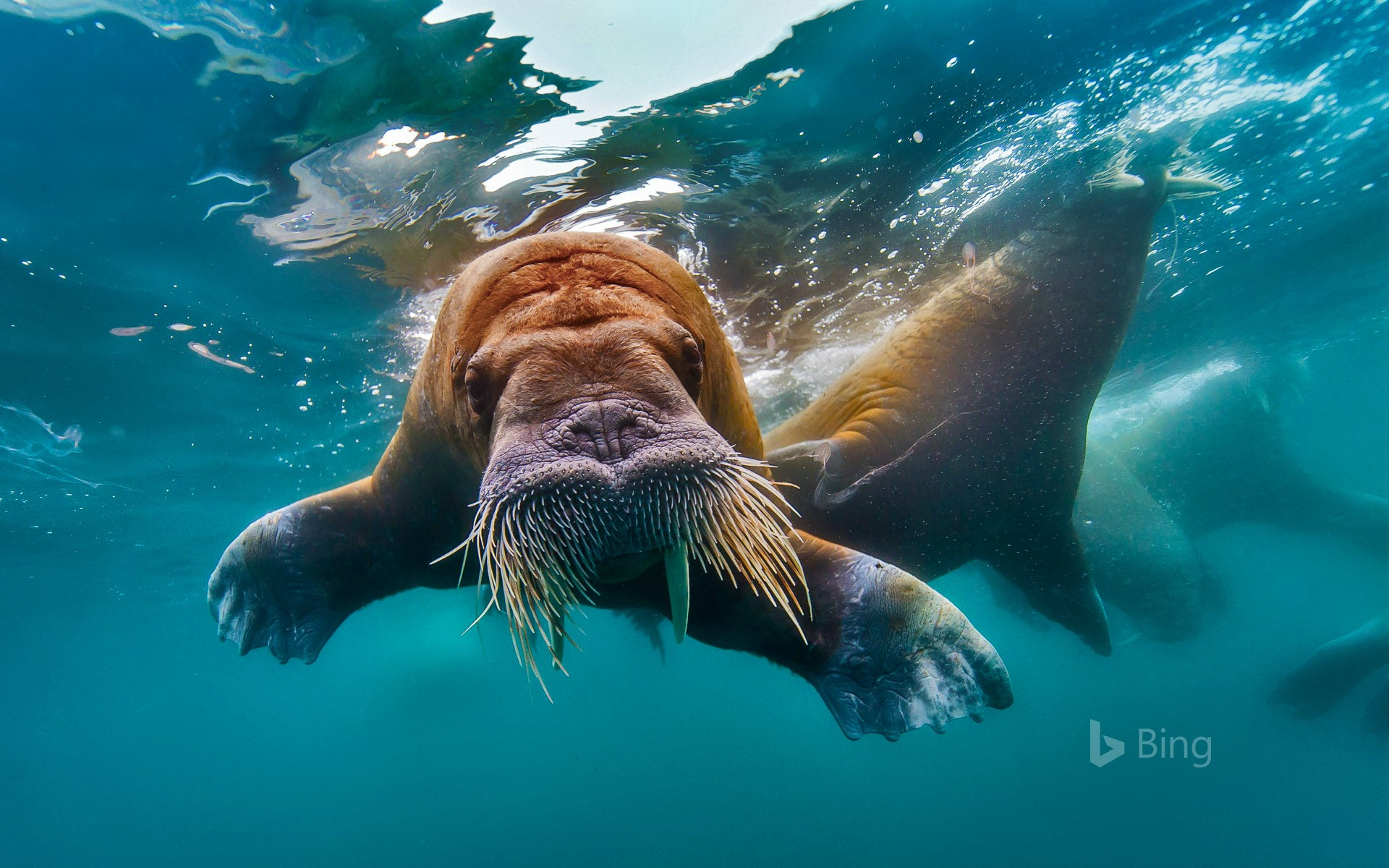 Walrus swimming in the Arctic Ocean