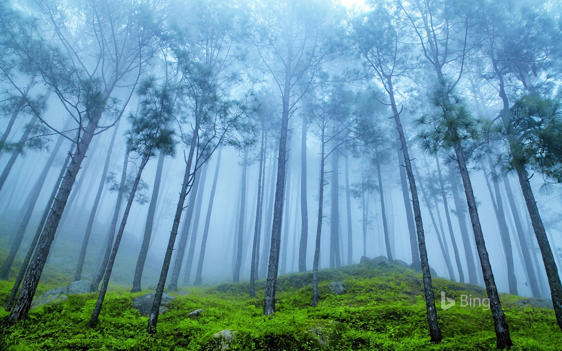 Pine forest in the Himalaya Range, Almora, Ranikhet, India